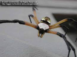 the black and yellow argiope spider has a cephalothorax fused head and thorax covered with short silvery hairs the shiny egg shaped abdomen has yellow