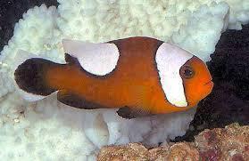 Saddleback Clownfish Amphiprion Polymnus Saddleback