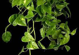 Risultati immagini per potos pianta
