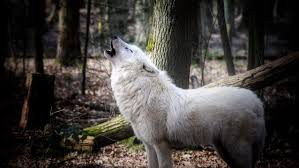 犬の遠吠えの動物壁紙