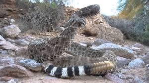 rattlesnake striking at camera. Plain Rattlesnake To Rattlesnake Striking At Camera YouTube