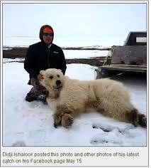 grolar bear size grolar bear polarbearscience