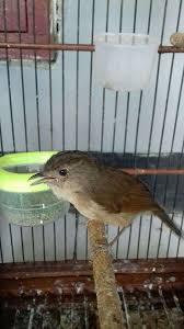 Nah, itulah dia cara merawat burung flamboyan agar cepat gacor dan jinak. 49 Burung Flamboyan Jawa Terbaru Burungjalak