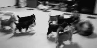 corgi puppy stampede gif. Contemporary Corgi The Honor Of The Queen Stampede 1592 Intended Corgi Puppy Gif F