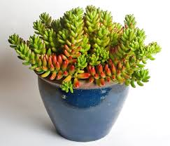 succulents or water retaining plants such as this jelly bean plant sedum rubrotinctum are often grown as houseplants
