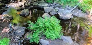 Adirondack Ferns: Royal Fern | Osmunda regalis