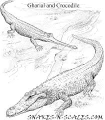Gharial And Crocodile Coloring Page Snakes N Scales Snakes N Scales