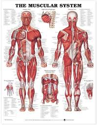They are categorized by the muscles which they affect (primary and secondary), as well as the equipment required. Amazon Com The Muscular System Anatomical Chart Laminated Home Kitchen