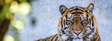 Vanni musste eingeschläfert werden: Im Zoo gibt es keine Tiger mehr