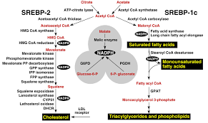 major metabolic intermediates in the pathways for synthesis ...