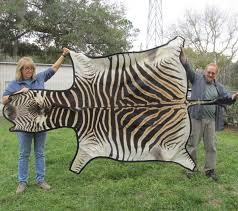 99 x 61 real zebra skin rug with felt backing you are ing