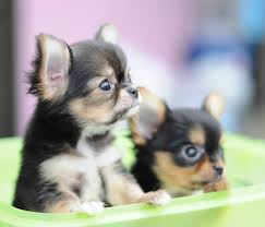 Long Haired Chihuahua Pups Dogs Pinterest Long Haired