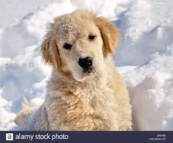 golden retriever puppies playing in snow.  Snow Golden Retriever 3 Month Old Puppy In The Snow He Has Been Running And  Playing To Puppies Playing In Snow