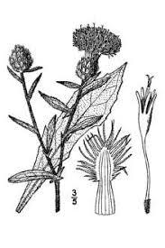 Plants Profile for Centaurea nigra (lesser knapweed)