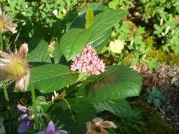 Sorbus chamaemespilus - Wikipedia