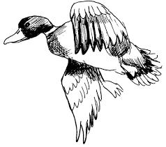 Dessin Coloriage Animal Canard Colvert Education Environnement