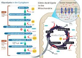 Complete The Chart For The Stages Of Cellular Respiration Cellular Respiration Wikipedia