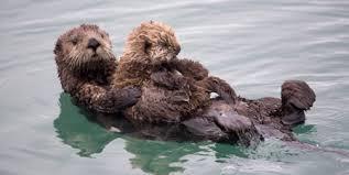 Resultado de imagen para sea otter