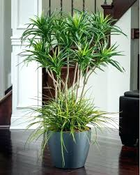 tall office plants. Plain Plants Plant  To Tall Office Plants