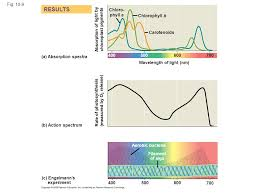 Action Spectrum Fig Wavelength Of Light Nm B Action Spectrum A
