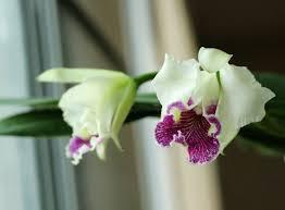 "Cattleya lueddemanniana semi-alba ""Stanley"": fragrant_orchid — LiveJournal"