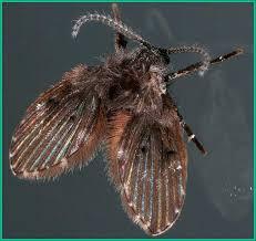moth flies or drain flies plant
