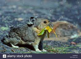 Pika (Ochotona Princeps) Erwachsene (Rock Kaninchen Pfeifen Hase) in kalten  Klimaten in höheren Lagen heimisch. Halten keinen Winterschlaf, sondern  Stockfotografie - Alamy