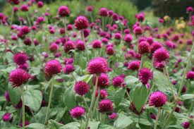 gomphrena can be big flowering annuals all around purple gomphrena is a 2