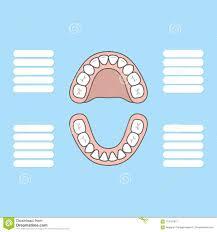 Canine Teeth Chart Tooth Chart Primary Teeth Blank Illustration Vector On Blue