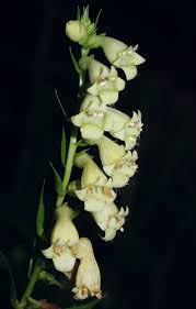 Digitalis lutea - Wikipedia