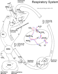 Respiratory System Flow Chart Respiration Flow Diagram Model