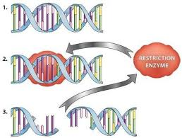Restriction Enzyme Restriction Enzymes Types Examples Studiousguy
