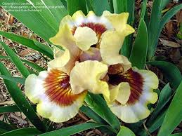 Zing Me Plantfiles Pictures Intermediate Bearded Iris Zing Me