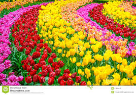 flowers for garden. Tulip Flowers Garden In Spring Background Or Pattern. Colorful For E