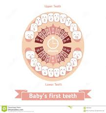 Baby Teething Chart Stock Vector Illustration Of Describe