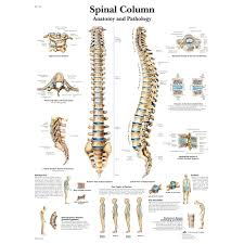 Back Nerve Chart Spinal Column Chart