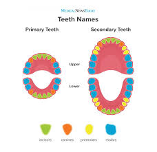 Tooth Position Chart Teeth Names Diagram Types And Functions
