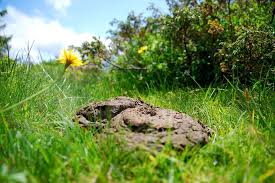 cow dung can fectively used to get rid of rats from your yard if you have some of them as manure around your garden and precious plants