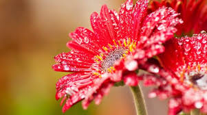 pink gerbera daisy flower with water