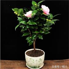 office pot plants. The Office Does Not Raise Small Potted Plants. Bonsai Of Radiation Protection And Purification Air Is Very Good. Big Boss Has Atmosphere. Pot Plants