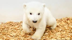 Berlin′s baby polar bear: It′s a girl!
