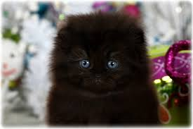 black cats with blue eyes for sale.  Sale Black Persian Fold Kitten And Cats With Blue Eyes For Sale