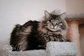 Cat for adoption - Becky, a Maine Coon Mix in Parlier, CA | Petfinder