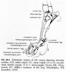 valgus dog. chapter 25. fracture and dislocation of the carpus valgus dog r