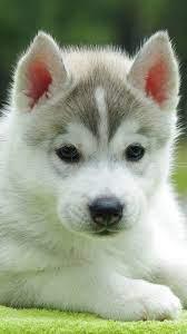 Cute Husky Puppy 4K Ultra HD Mobile ...