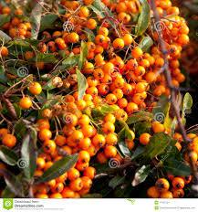 MASSALA U003dfrutas De Origem Africana  Pesquisa Google  FRUTAS Small Orange Fruit On Tree
