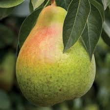 Moonglow Pear Pollination Chart Moonglow Pear The Large Green Fruit Turns Red Blush When