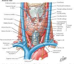 Thyroid Anatomy Figure 128 1 From Chapter 128 Thyroid And Adrenal Disorders