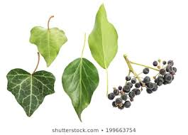 Ivy Berry Images, Stock Photos & Vectors | Shutterstock