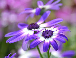 beautiful purple and white flowers. Perfect Purple Spring Photograph  Pretty Purple And White Flowers By P S For Beautiful O